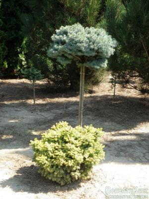 Jól megvagyunk, így. Elől Picea omorika 'Peve Tijn', hátul Picea pungens 'Blue Pearl'.
