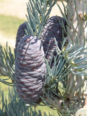 Teteszetősek az ezüstös ágak között. Abies concolor 'Violaceae'.