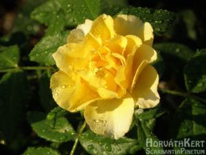 Sárga rózsa eső után.