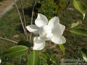 Ilyenkor bontja illatos virágait az örökzöld Magnolia grandiflora.