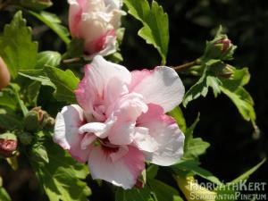 És egy féligtelt rózsaszín.