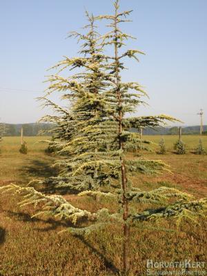Az augusztusi melegben díszlik a Cedrus atlantica 'Aurea'.