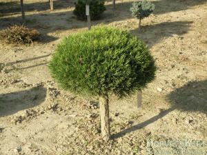 Nyúlnak az árnyékok. Pinus mugo 'Fischleinboden'.