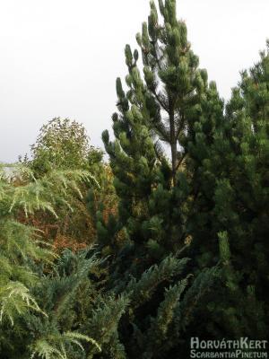 Szép formát mutat estefele az oszlopos páncélfenyő. Pinus leucodermis 'Satellit'.