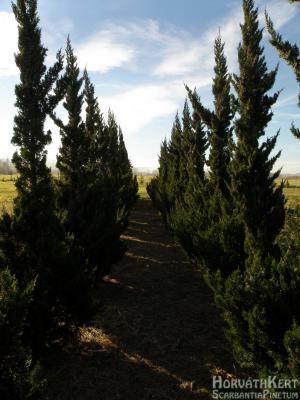 Vagy a kínai oszlopos boróka. Juniperus chinensis 'Keteleerii'.