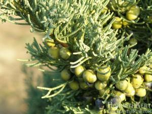 A kék kínai boróka szintén. Juniperus chinensis 'Kék'.