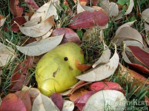 A kínai álbirs lehullott levelei és termése.