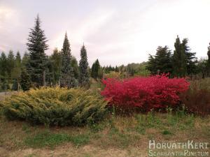 Ez aztán intenzíven színes. Eunonymus alatus 'Compactus'.