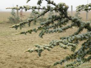 reggelente már ködös az idő. Cedrus atlantica 'Aurea'.
