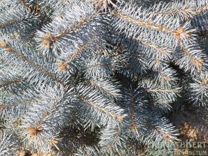 Picea pungens 'Edit'. Beértek a hajtások.