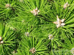 Itt is. Pinus densiflora 'Low Glow'.