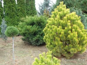 Őszi színek. Pinus mugo 'Golden glow' - jobbra. Mögötte Juniperusx media 'Boncy'. Mellette balra magastörzsön Pinus nigra 'Sychrov'.