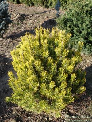 Szóló. Pinus mugo 'Golden Glow'. Nyáron zöld a színe.