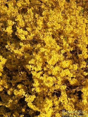 Egy másik nagy kedvenc - a magnólia mellett - az aranyvessző. Forsythia x intermedia 'Minigold'
