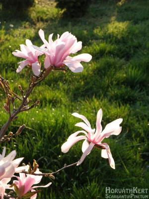 A magnólía is korán virágzik, Magnolia x loebneri 'Leonard Messel'