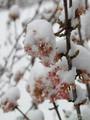 Tél a tavaszban – március 26. - Viburnum bodnantense 'Dawn'