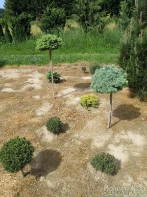Egy fenyőcsoport. Balra lent Pinus mugo 'Fischleinboden', középen 2 kisebb Pinus uncinata 'Jezek', jobbra középen magastörzsön a kékszínű Picea pungens 'Brynek', mellete balra a sárga növény Juniperus horizontalis 'Lime Glow', baloldalt fent magastörzsön Picea pungens 'Ökrös', mögötte takarásban Picea abies 'Írottkő'.