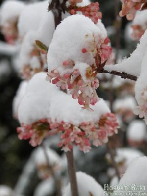 Kellemesen illatos növény, illata hasonlít az erdei ciklámenéhez.