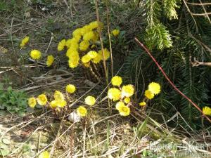 Kis sárga virágaival a martilapu. Tussilago farfara.