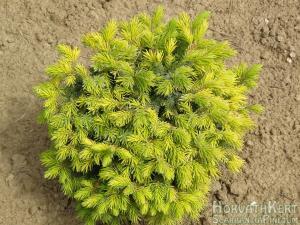 Picea omorika 'Peve Tijn'. Teljes pompában.