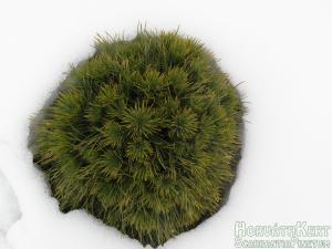 Zöld és fehér. Pinus mugo 'Varella'.