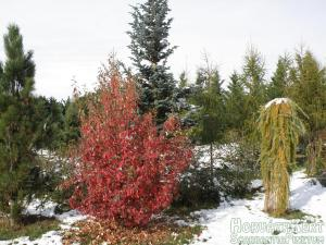 Pseudocydonia chinensis + egy kis hó.