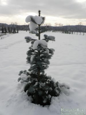 Nyakig a hóban. Abies concolor 'Violaceae'.