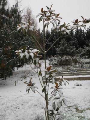 Havasan a Magnolia grandiflora.