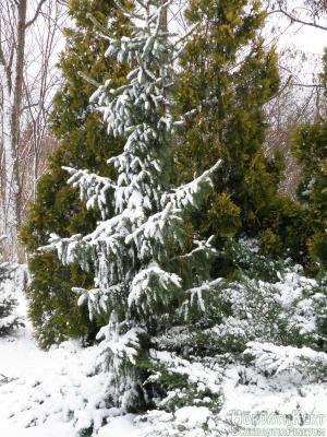 Meg egy Picea omorika - szerbluc.