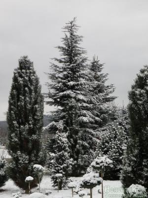Balszél - jobbszél Pinus nigra 'Arnold Sentinel', középen Cedrus deodara 'Karl Fuchs'. És a többiek.