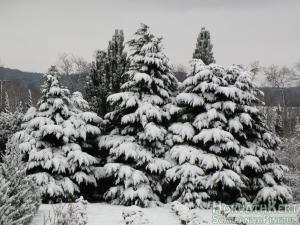 Nagyon havas a három grácia. Chamaecyparis lawsoniana 'Nidiformis'.